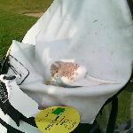 A canary bird on the golf bag