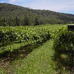 Chardonnay & Chambourcin Vineyards