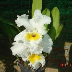 Cattleya Orchid, Horas Family Home