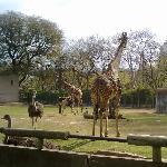 Jirafas Zoo de Bs As