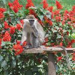 ververt monkey among the salvia