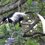 Colobus monkey in a Jacaranda tree
