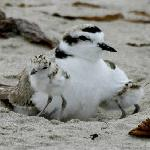 Snowy Plover and chicks, photo by Callie Bowish