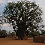 a huge baobab tree in Impalila Island