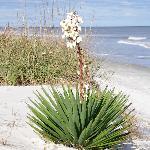 Jekyll Island (sago palm?)