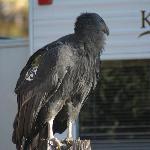 visiting condor