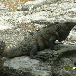 The Iguanas of El Meco