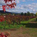 Vineyard at David Fulton Winery