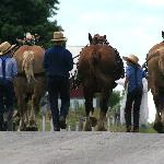 Draft Horses used in the fields to pull equipment