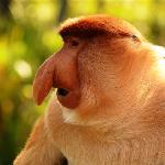 Male proboscis monkey at Platform A (no zoom)