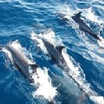 Spotted dolphins offshore Drake Bay