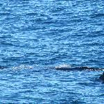 Waale bei Hermanus