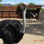 close to an ostrich