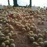 Join in the pool of chicks