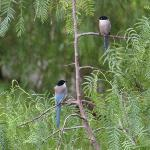 azure winged magpie over road at front