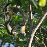 Squirrel monkeys playing