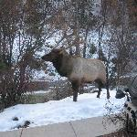 The elk right on our front steps!