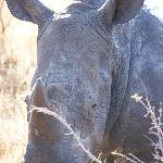 Up close and personal with a female Rhino