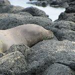 Hawaiian Monk Seal, endangered Nov 2011