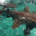 Nurse sharks that swarm the boat when you pull up to Shark Ray Alley