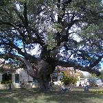 The 450 year old live oak