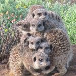 Cozy meerkats