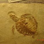fossile di tartaruga