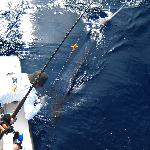 Blue Marlin Hooked close to Las Islas Lodge