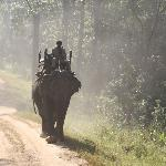 Elephants used for tracking tigers