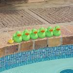 Ducks at the pool