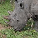 White rhino. Just one of the abundant species of animals to be found in the Karongwe Game Reserv