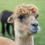 Friendly alpacas