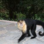 Juvenile Capuchin Monkey on the patio