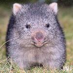 Our resident baby wombat