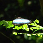 Blue morpho butterfly at Madidi Jungle Ecolodge & Madidi Park