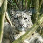 Smile for the camera now mr Snow leopard