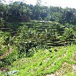 The rice paddies