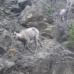 Young big horn sheep just down the road from us