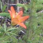 You can never get enough of these wild wood lilies all over our property