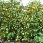 Luscious lemon trees in Stonehaven garden