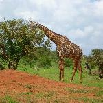 Giraffa nel parco Tsavo Est