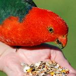 Feeding the King Parrots