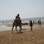 Agadir Camels Dromadaires