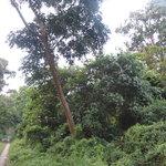 Dense Forest- Chilapata