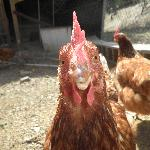 Gwendoline.....one of our chickens