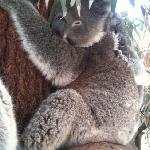 koala ... you can stroke the back with the back of your palm.
