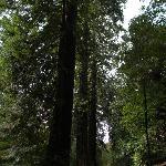 Viale alberato a Sequoie