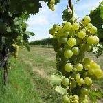 The grapes of balsamic vinegar vineyard