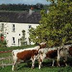 Irish Moiled Cattle