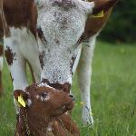 Our Irish Moiled cow with calf